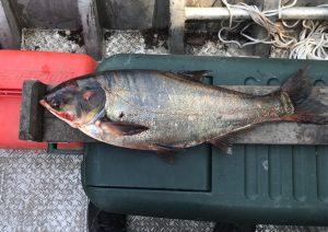 An 8 lb. silver carp caught nine miles from Lake Michigan renewed fears that invasive Asian carp could reach the Great Lakes.