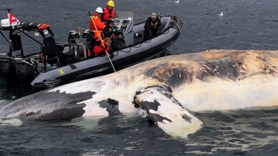 Make ship speed limits mandatory to protect right whales, advocates say