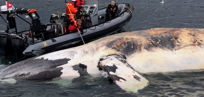 Responders examine a dead right whale in the Gulf of St. Lawrence. Marine Animal Response Society photo.