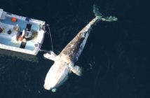 The charter vessel Game On with a team from the Virginia Aquarium Stranding Response Program located and attached a satellite tag to a dead right whale Jan. 26. Sea to Shore Alliance photo/NOAA permit #20556.