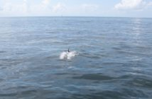 A dolphin surfaces in the oil slick emanating from the Taylor MC20 site. Credit: NOAA