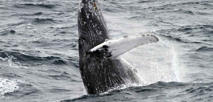 A humpback whale breaching. NOAA photo