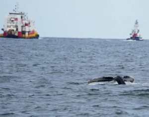 A humpback whale and vessels near New York. Tugs and tows travel at lower speeds but can still be risk of collision with whales feeding close to shore, according to a new study. Photo by Celia Ackerman/Gotham Whale