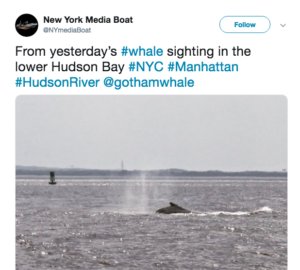 Excursion boat passengers can see humpback whales feeding in New York Harbor. New York Media Boat photo via Twitter