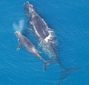 A North Atlantic right whale with calf. NOAA photo