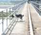 Patrol dog keeps birds from damaging locks and dam