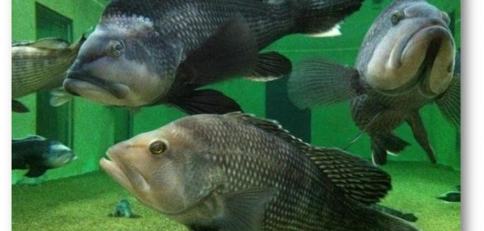 Wild black sea bass in a 32,000-gallon research aquarium at the Northeast Fisheries Science Center's James J. Howard Marine Sciences Laboratory at Sandy Hook, N.J.